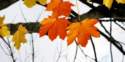 Free Image Autumnal Leaves by Simon Howden